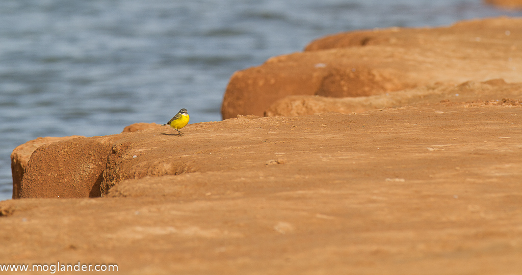 Morocco Plage Blanche Plage Blanche Yellow Wagtail