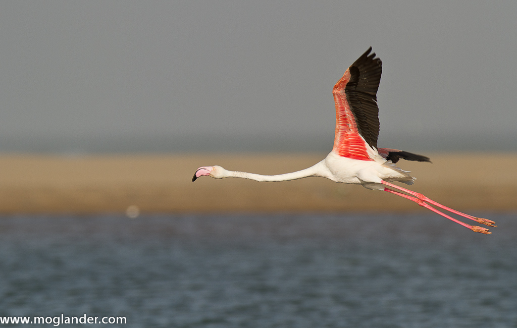 Morocco Plage Blanche Birdlife at Plage Blanche
