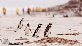 Magellanic penguins on the beach with some of our fellow passengers in the background
