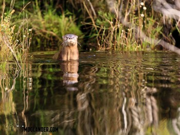 a nice simple pose from a river Otter.
