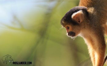Bolivia Monkey