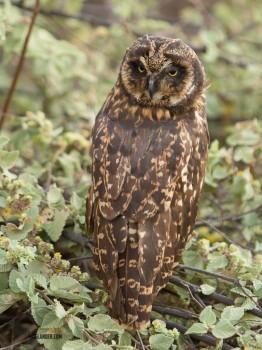 galapagos island owl