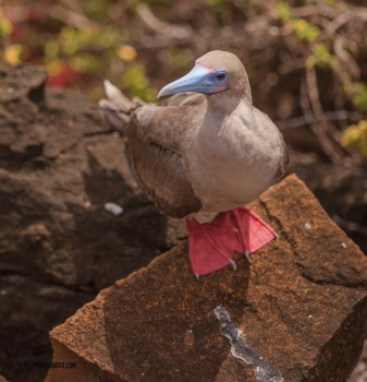 Red footed boobie. Same blue beak as the blue footed but can be clearly identified as different due to the glint in it's eye.