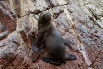 Seal climbing rocks